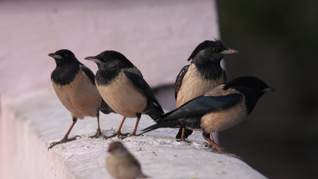 Rosy Starling - Ahmedebad, India