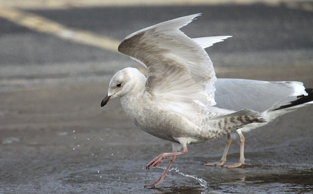 Iceland Gull at Montauk
