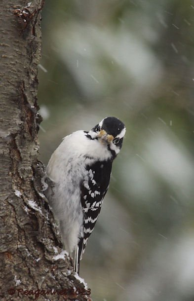JFK 28Jan13 Hairy Woodpecker 02