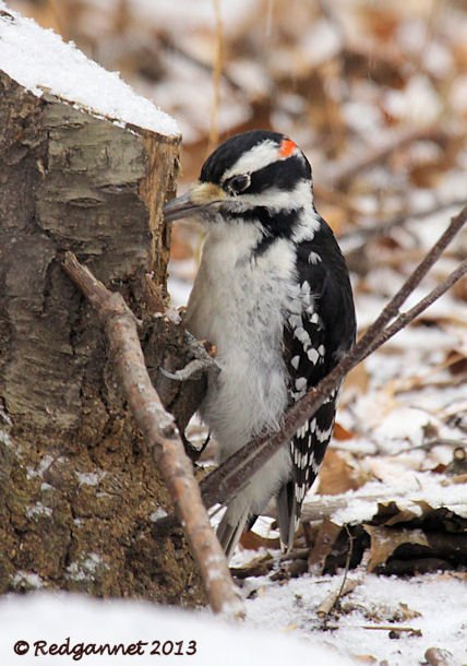 JFK 28Jan13 Hairy Woodpecker 04