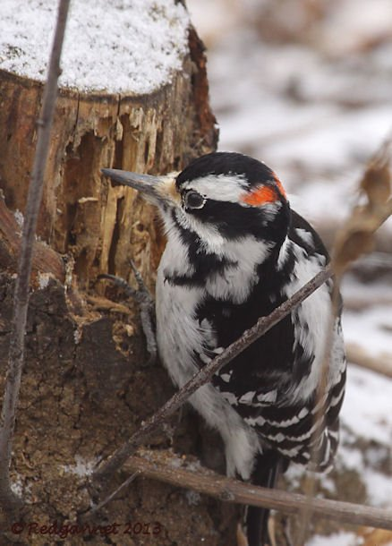 JFK 28Jan13 Hairy Woodpecker 05