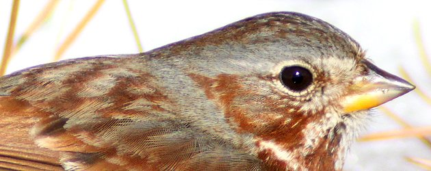 Fox Sparrow Passerella iliaca