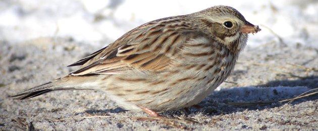 Ipswich Savannah Sparrow Passerculus sandwichensis princeps