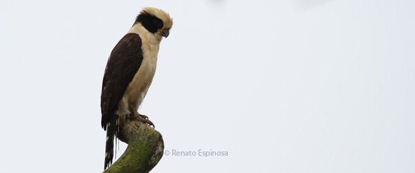 Laughing Falcon, photo by Renato Espinosa