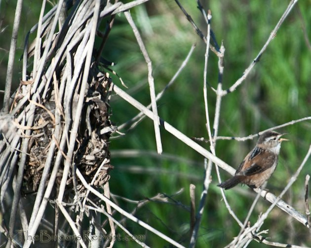 Marsh Wren Singing for Mate