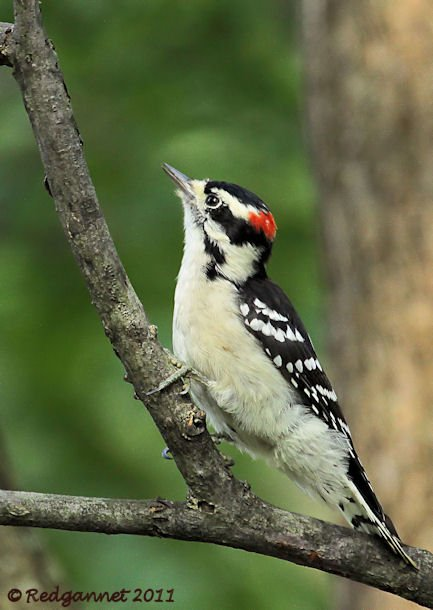 ORD 15Sep11 Downy Woodpecker 01 - Copy