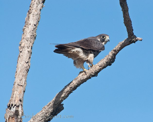 Peregrin Falcon at Delevan NWR