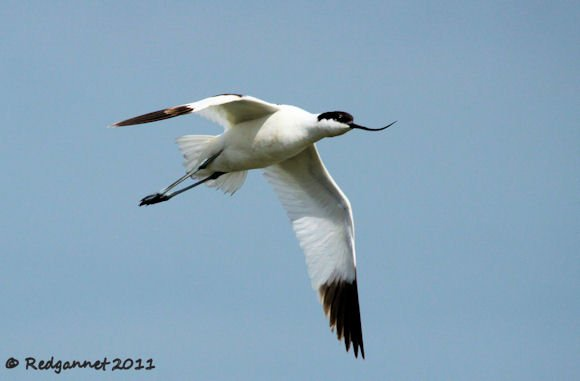 Pied Avocet by Redgannet