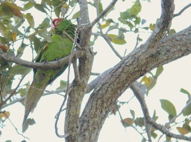 Red-masked_Parakeet