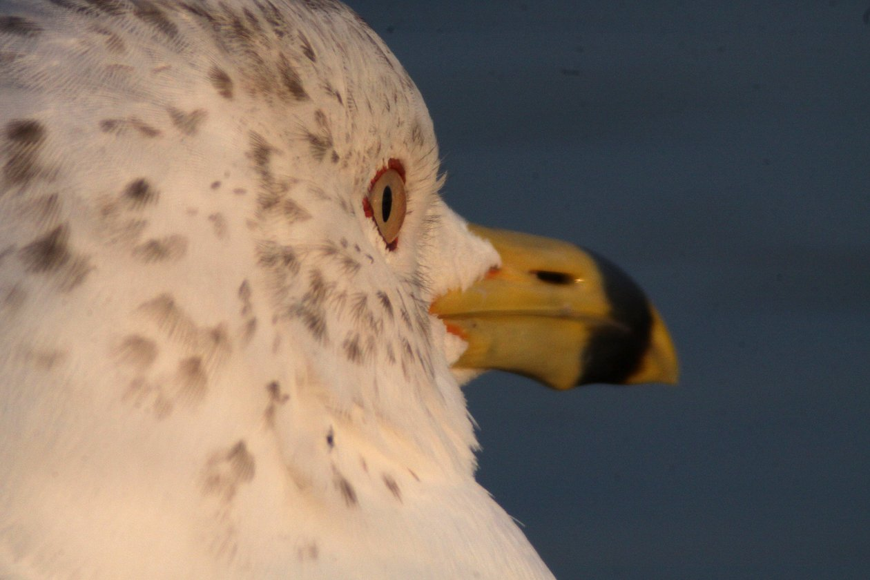 Ring-billed Gull 3