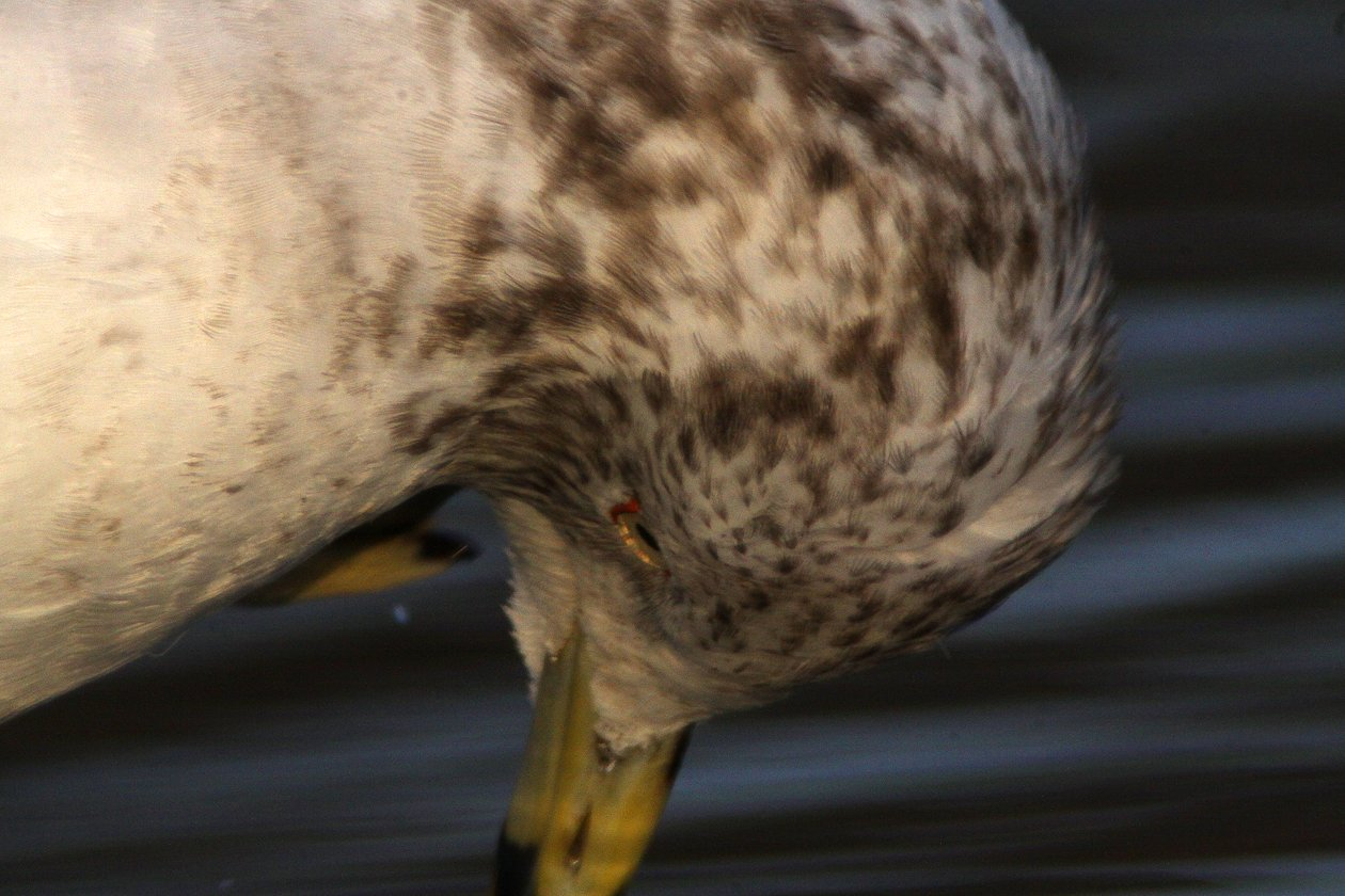 Ring-billed Gull 4