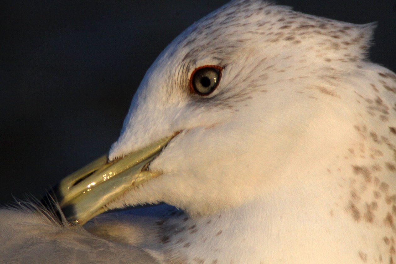 Ring-billed Gull 6