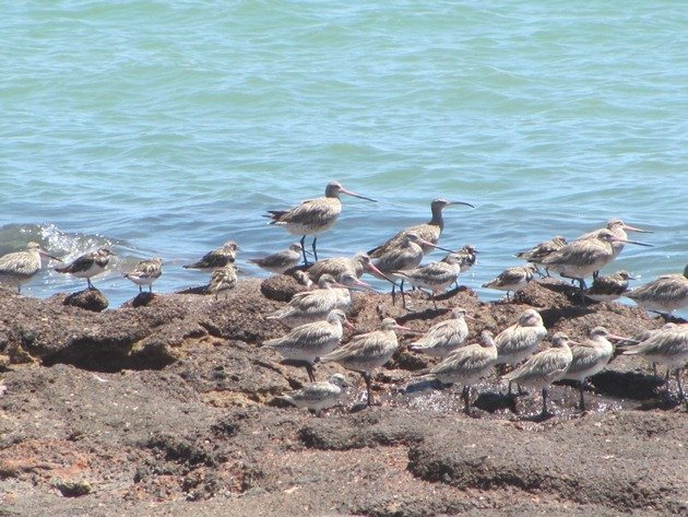 Shorebirds-Karratha (2)