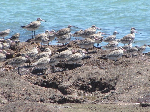 Shorebirds-Karratha (3)