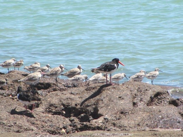 Shorebirds-Karratha