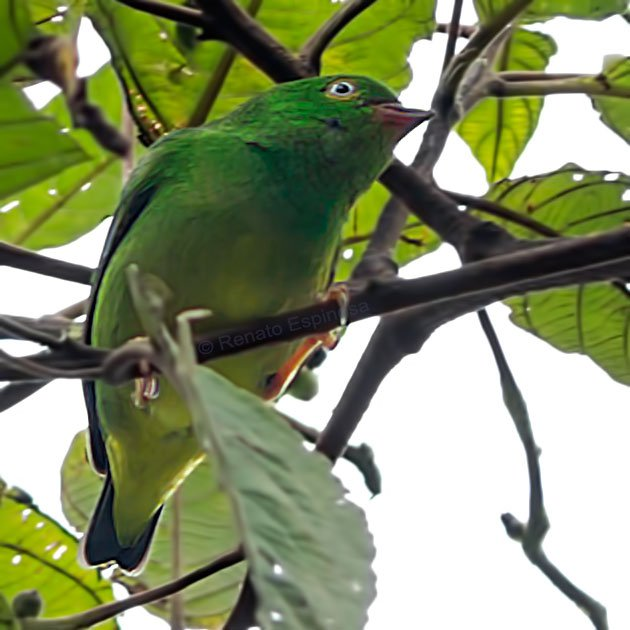 Yellow-collared Chlorophonia_005746