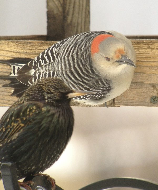 irritated woodpecker