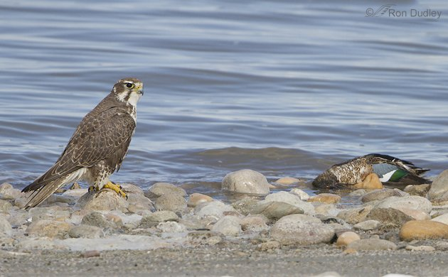 Prairie Falcon by Ron Dudley