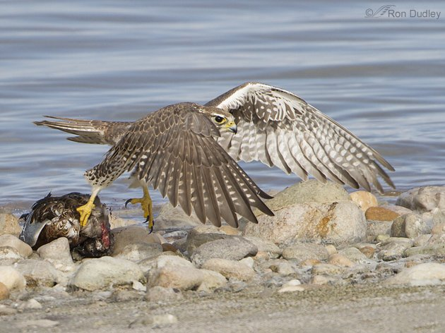 Prairie Falcon pulling a dead Northern Shoveler by Ron Dudley