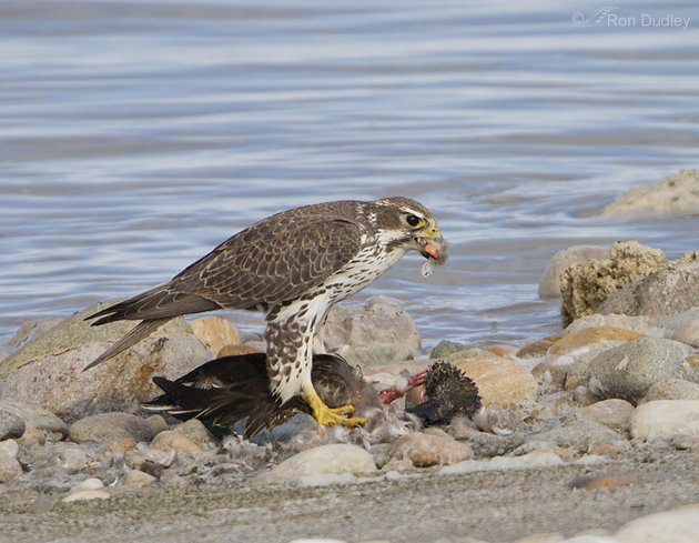 Prairie Falcon eating a shoveler by Ron Dudley