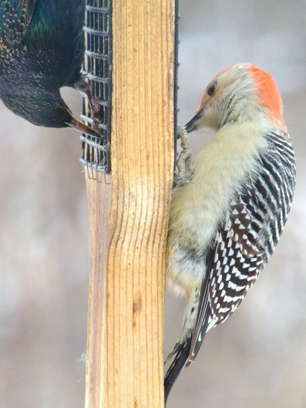 red bellied woodpecker and starling