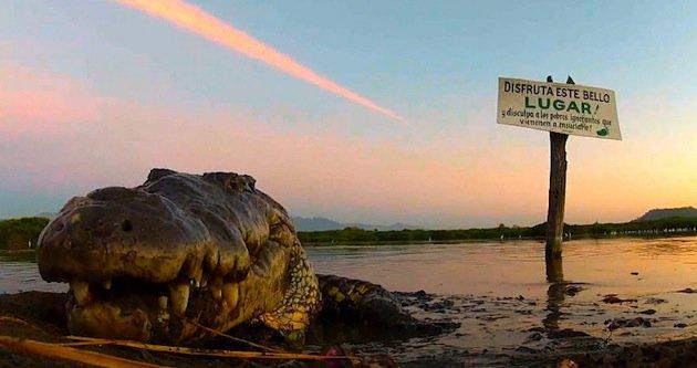 American_Crocodile
