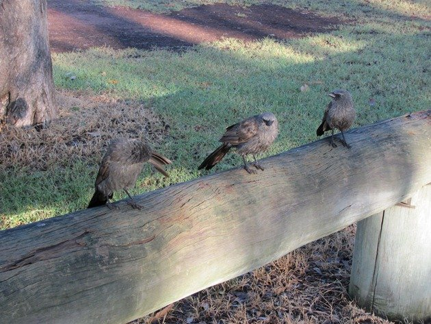 Apostlebirds drying off