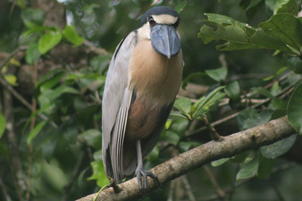 Boat-billed Heron - Corey Finger
