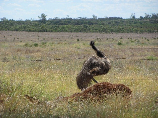Emu goes through fence (2)