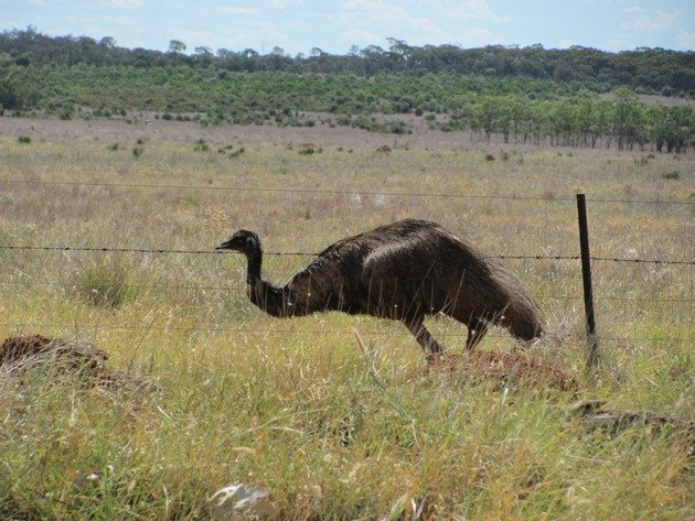 Emu goes through fence (4)