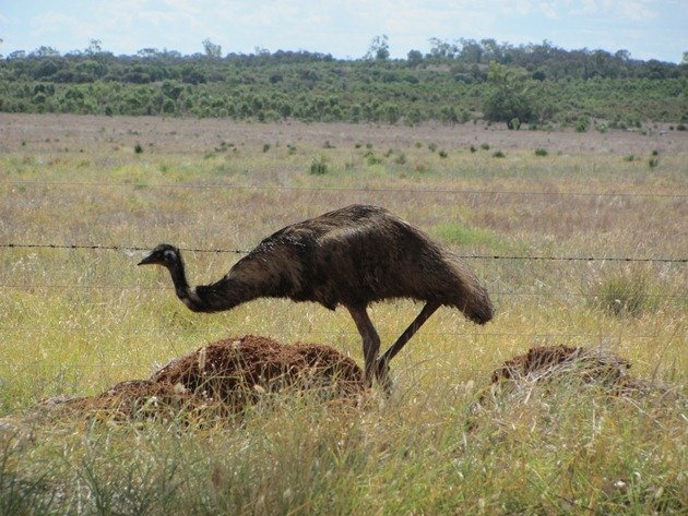 Emu goes through fence (5)