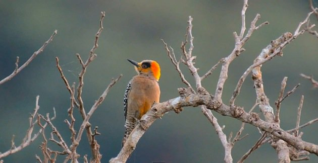 Golden-cheeked_woodpecker