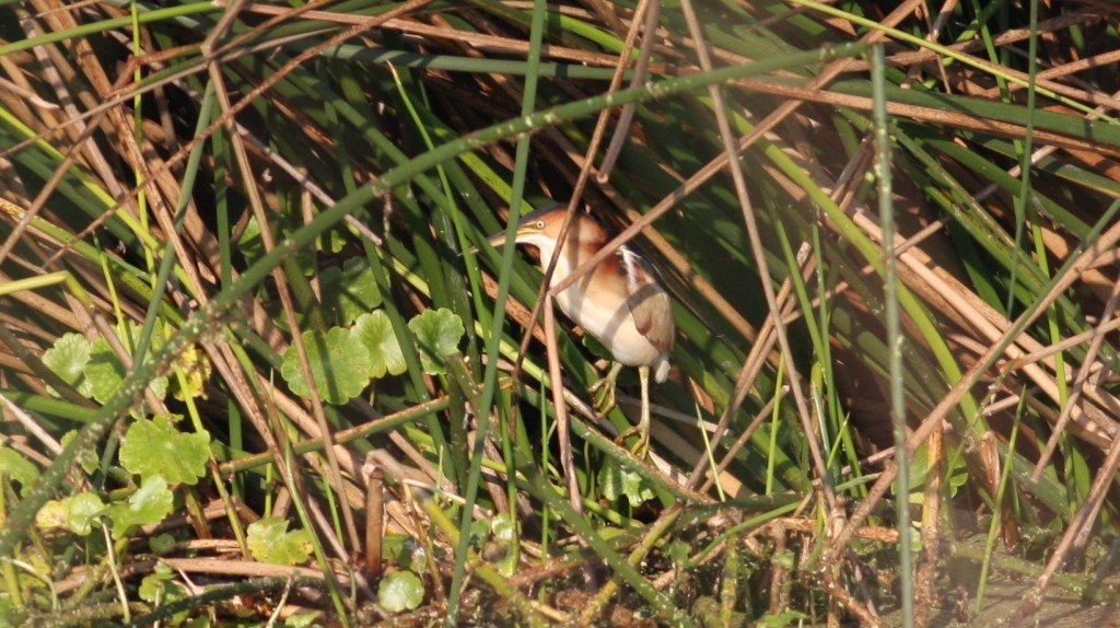 Least Bittern - Viera Wetlands, Brevard Co, Fl