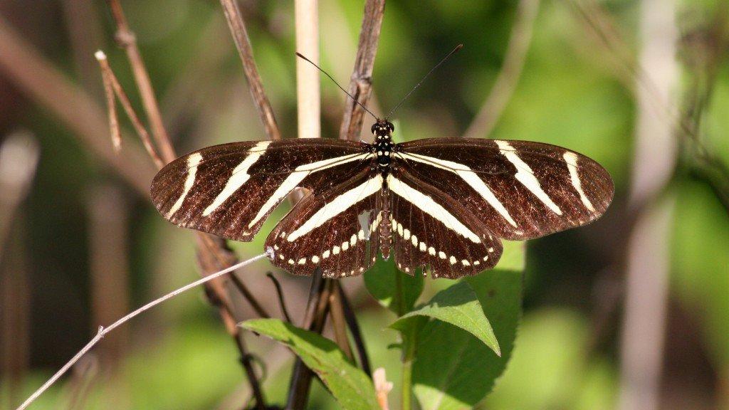 Zebra Longwing - Pine Island, Brevard Co, Fl