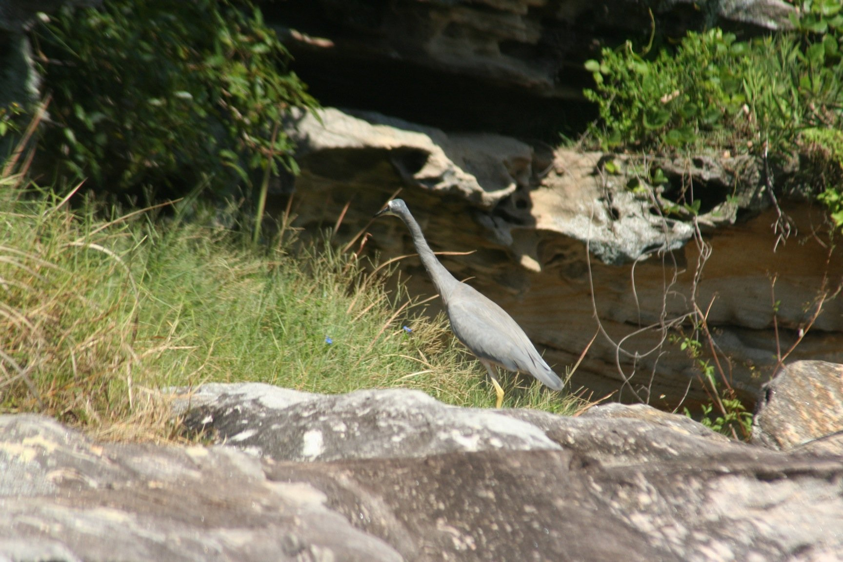 White-faced Heron 2