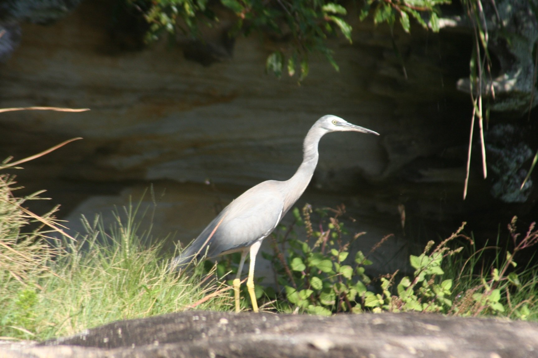 White-faced Heron 3