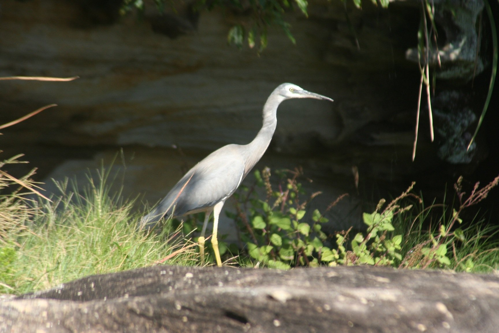 White-faced Heron 4