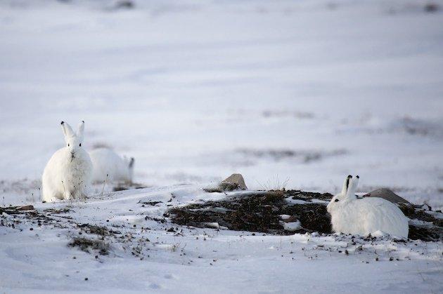 Feeding Arctic Hare (Lepus arcticus)