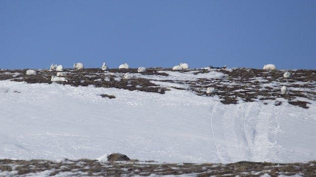 Herd of Arctic Hare (Lepus arcticus)