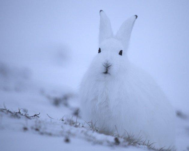 An alert Arctic Hare (Lepus arcticus)