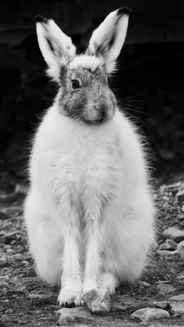 Arctic Hare changing to summer pelt