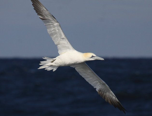 Northern Gannet fly by