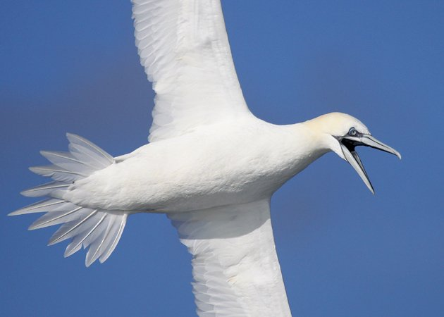 Northern Gannet in New York