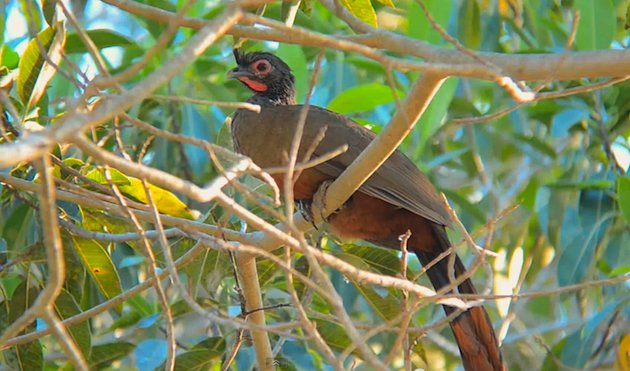 Rufous-Bellied_Chachalaca