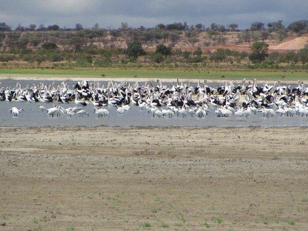 Spoonbills & Australian Pelicans