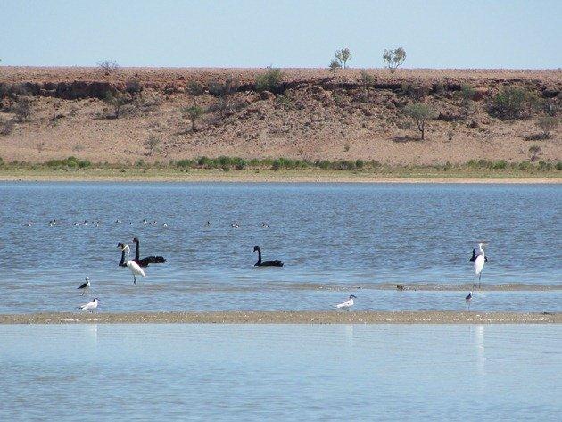Swans, Egret, etc