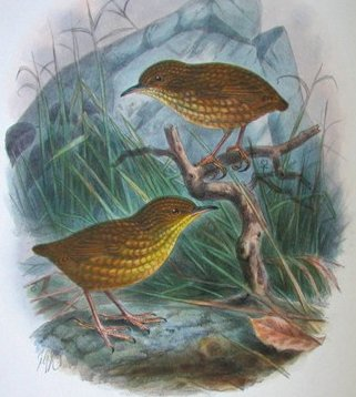 Stephen's Island Wren courtesy Wikipedia