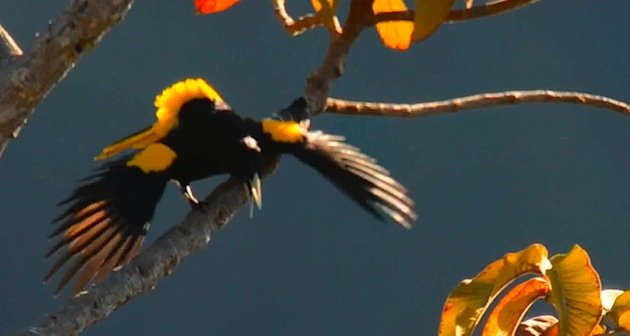 Yellow-winged_Cacique