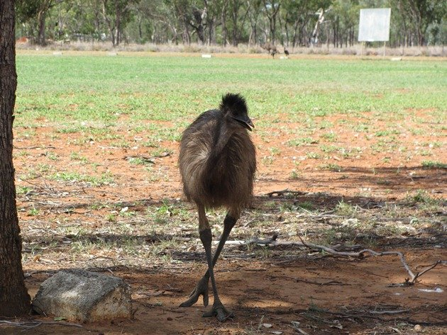Young Emu in town