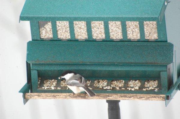 chickadee safflower